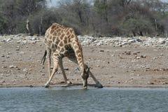 dricka giraffvatten arkivfoto