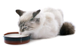 Dricka kattungen Arkivfoton