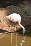 dricka märkt flamingolake Royaltyfria Foton