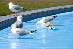 dricka seagulls Royaltyfria Bilder