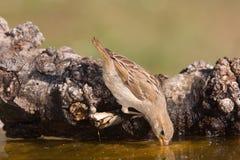 dricka sparrow Royaltyfria Foton