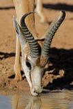dricka springbok för antilop Arkivfoto