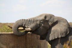 Dricka tid i Afrika Royaltyfria Bilder