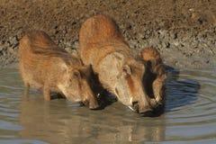 dricka warthogs Royaltyfri Fotografi