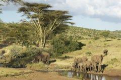Dricksvatten för afrikanska elefanter på dammet i eftermiddagljus på Lewa naturvård, Kenya, Afrika Arkivbild