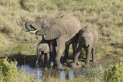 Dricksvatten för afrikanska elefanter på dammet i eftermiddagljus på Lewa naturvård, Kenya, Afrika Royaltyfria Bilder