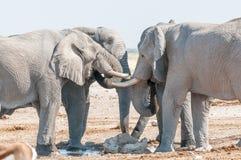Dricksvatten för afrikanska elefanter på en waterhole i nordliga Nami Royaltyfri Bild