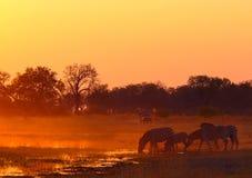 Dricksvatten för fyra sebror under solnedgång på Khwairiver i Botswana arkivfoton