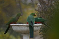 Dricksvatten för konung Parrots från ett fågelbad under en torka i en lantlig trädgård royaltyfri foto