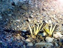 Dricksvatten för två fjärilar för easter tigerswallowtail på flodkusten Royaltyfria Bilder