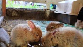 Drie aanbiddelijke pluizige konijntjeskonijnen die uit zilveren kom bij de markt van de provincie eten stock video