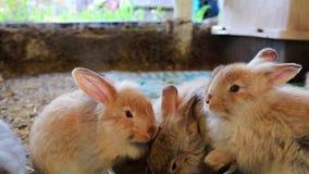 Drie aanbiddelijke pluizige konijntjeskonijnen die uit zilveren kom bij de markt van de provincie eten stock footage