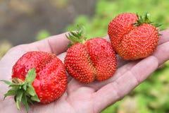 Drie aardbeien op hand Stock Afbeeldingen