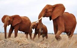 Drie Afrikaanse olifanten Royalty-vrije Stock Afbeeldingen