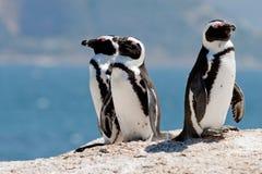 Drie Afrikaanse Pinguïnen (van de Domoor) Royalty-vrije Stock Afbeeldingen