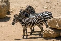 Drie Afrikaanse zebras Royalty-vrije Stock Foto's