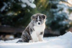 Drie Amerikaanse Akita-puppy die in een sneeuw in de winterbos stellen royalty-vrije stock fotografie