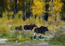 Drie Amerikaanse elanden Royalty-vrije Stock Fotografie