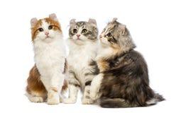 Drie Amerikaanse katjes van de Krul, 3 maanden oud die, zitting, omhooggaand en de camera bekijken kijken Royalty-vrije Stock Afbeeldingen