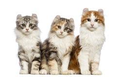 Drie Amerikaanse katjes van de Krul, 3 maanden oud, zitting en het bekijken de camera Stock Foto's