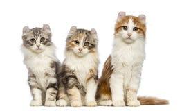 Drie Amerikaanse katjes van de Krul, 3 maanden oud, zitting en het bekijken de camera Royalty-vrije Stock Foto