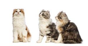 Drie Amerikaanse katjes van de Krul, 3 maanden oud, zitting en omhoog het kijken Stock Afbeelding