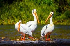 Drie Amerikaanse Witte Pelikanen die zich op rotsen in de Slangrivier Wyoming bevinden Royalty-vrije Stock Fotografie