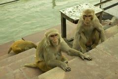 Drie apen Royalty-vrije Stock Foto