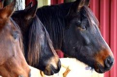 Drie Arabische paarden Royalty-vrije Stock Foto's