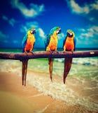 Drie Aronskelkenararauna van de papegaaien blauw-en-Gele Ara Stock Foto