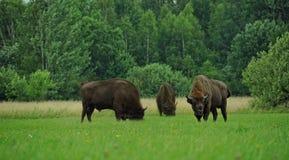 Drie aurochs op gebied zubr stock fotografie