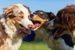 Drie Australische Herdershonden die voor een stuk speelgoed vechten Stock Foto's