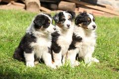 Drie Australische herderspuppy die samen zitten Stock Afbeelding