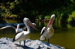 Drie Australische pelikanen op rots in midden van meer Royalty-vrije Stock Afbeeldingen
