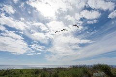Drie Australische vogels die die naar de oceaan vliegen, tegen een heldere blauwe hemel met witte wolken wordt gesilhouetteerd stock foto's
