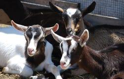 Drie babygeiten Royalty-vrije Stock Afbeelding