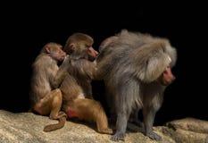 Drie bavianen op een steen stock fotografie