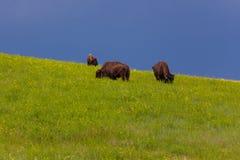 Drie Bison Grazing op een Helling royalty-vrije stock foto