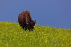 Drie Bison Grazing op een Helling royalty-vrije stock foto's