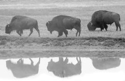 Drie bizonprofiel en bezinning Royalty-vrije Stock Fotografie