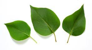 Drie bladeren Stock Foto