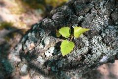 Drie bladeren op de berkboom stock afbeelding