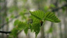 Drie bladeren van berk na regen Langzame mo stock footage