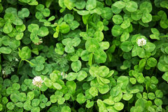 Drie bladklavers op het groene gebied Royalty-vrije Stock Afbeelding