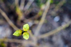 Drie bladknoppen het bloeien Royalty-vrije Stock Foto's
