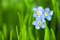 Drie Blauwe Bloemen van het Vergeet-mij-nietje/Macro Royalty-vrije Stock Foto