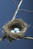 Drie Blauwe Eieren in Nest Royalty-vrije Stock Foto