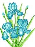 Drie blauwe irissen Stock Fotografie