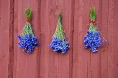 Drie blauwe korenbloembos op rode huismuur stock foto's