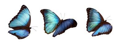 Drie Blauwe morphos Royalty-vrije Stock Foto